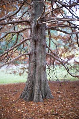 deciduous tree wollongong botanic gardens