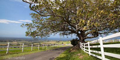 large figtree and white fences at Saddleback Mountain