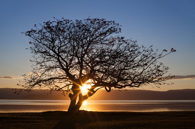 coral tree at suset Lake illawarra foreshore